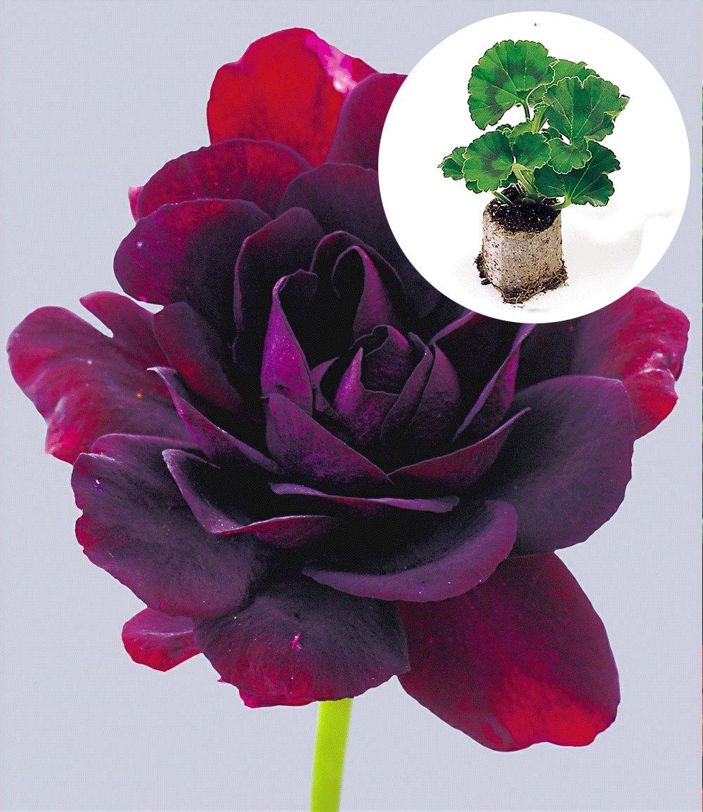 h nge geranien 39 royal night 39 jungpflanzen nur im. Black Bedroom Furniture Sets. Home Design Ideas