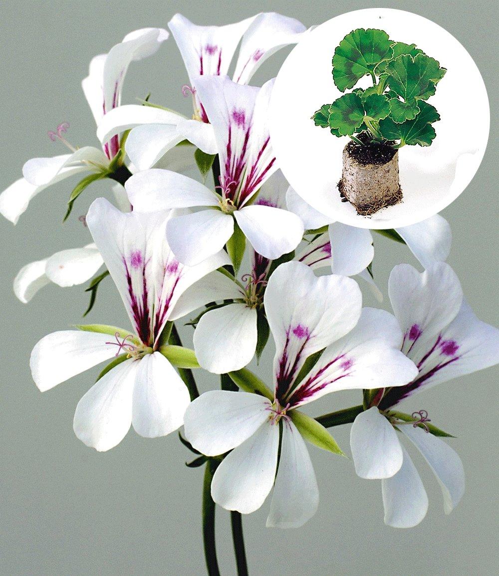 h nge geranien 39 white glacier 39 jungpflanzen nur im internet bei baldur garten. Black Bedroom Furniture Sets. Home Design Ideas
