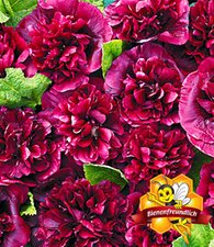 Stockrose 'Blackberry'