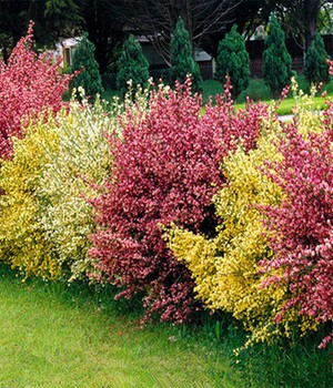 Ginster-Hecke 'Tricolor'