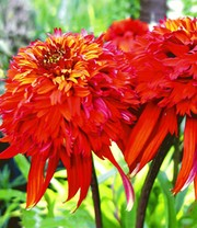 Duft-Echinacea 'Hot Papaya'