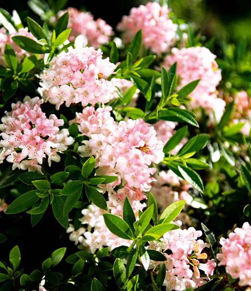 Rhododendron Nugget by 'Bloombux®'