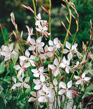 Gaura 'White Butterfly'