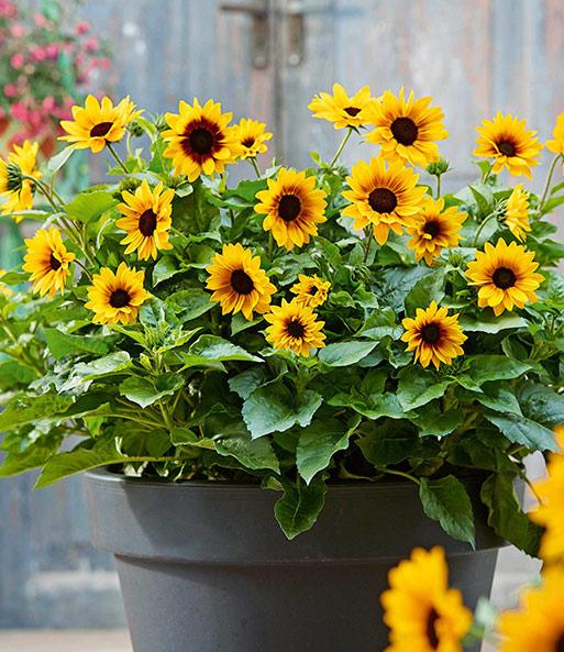 Sonnenblume Giftig