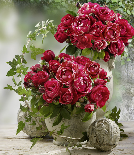 gro e malerrosen kollektion 1a rosenpflanzen bestellen