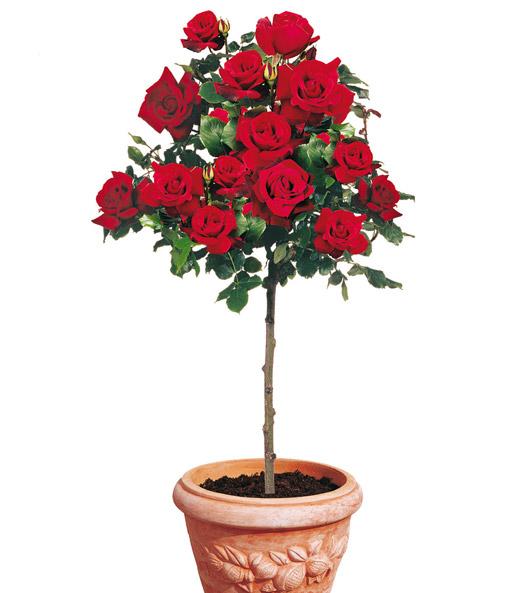 RosenStamm Le Rouge Et Le Noir ARosenpflanzen Bestellen