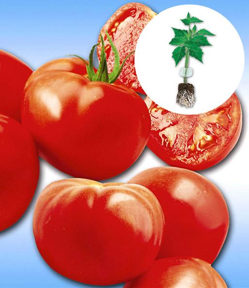 veredelte stab tomate 39 maestria 39 f1 easyplant jungpflanzen bei baldur garten. Black Bedroom Furniture Sets. Home Design Ideas