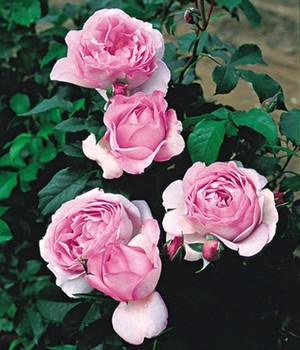 rosa rosen online bestellen bei baldur garten. Black Bedroom Furniture Sets. Home Design Ideas