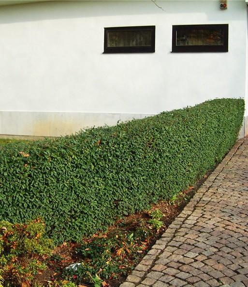 Mein Schoner Garten Hecken Set Ligu Schnellwachsende Hecke Bei