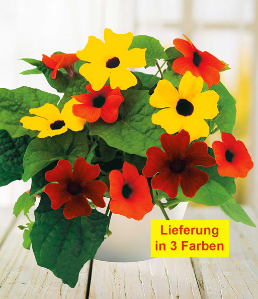 Thunbergia 'Sunny Susy® Mix'