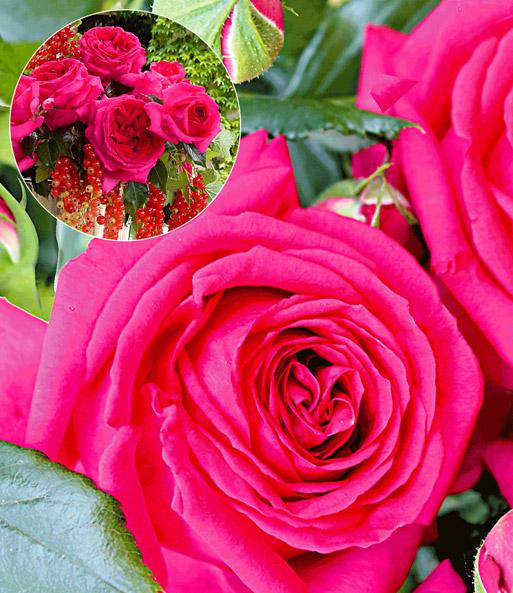 parfum rose 39 regis marcon 39 1a rosenpflanzen bestellen. Black Bedroom Furniture Sets. Home Design Ideas