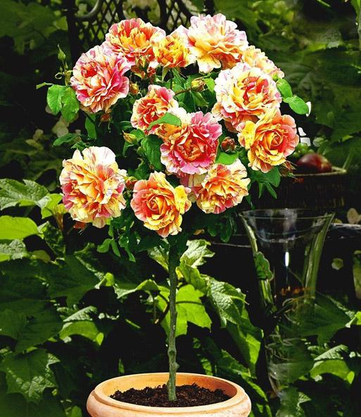 Rosen-Stamm \'Claude Monet®\': 1A-Qualität online kaufen| BALDUR-Garten