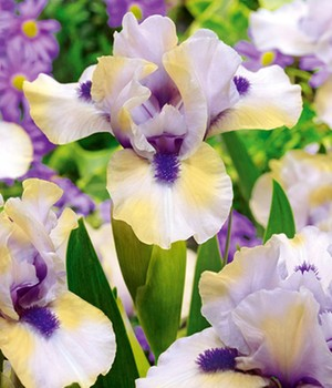 Iris 'Tickety Boo'