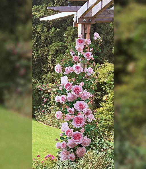 Kletter-Rose Bienvenue®  Rosa Rosen bei BALDUR-Garten
