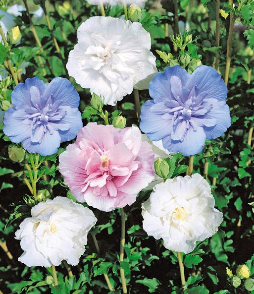 gef llter hibiskus chiffon wei 1a pflanzen baldur. Black Bedroom Furniture Sets. Home Design Ideas