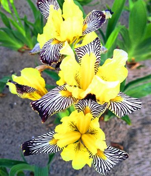 Iris 'Censation® Golden Zebra'