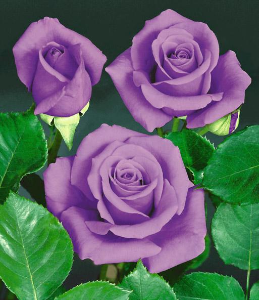 Rose Blue Saphir TopQualitt Kaufen  BaldurGarten