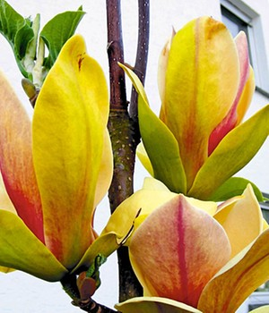 Magnolie 'Sunsation'