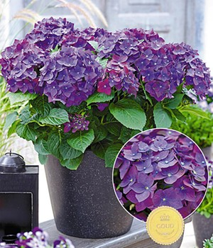 Freiland-Hortensie 'Deep Purple'