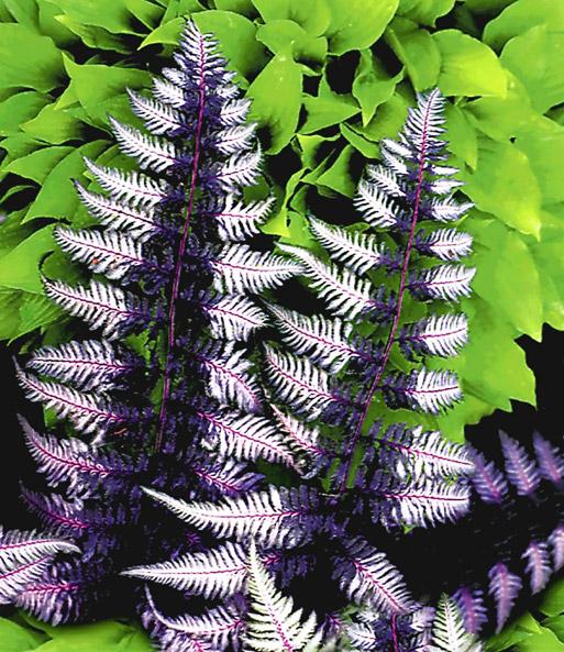 Schmuck Farn Japanese Painting 1a Qualität Baldur Garten