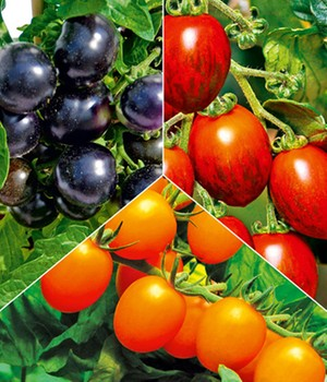 tomaten jetzt online kaufen bei baldur garten. Black Bedroom Furniture Sets. Home Design Ideas
