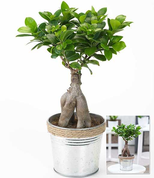 Ficus Ginseng im Zinktopf: 1A-Zimmerpflanzen | BALDUR-Garten