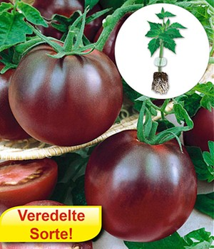 Veredelte Stab-Tomate 'Kakao' F1