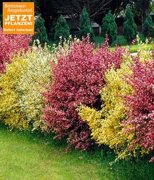 Ginster-Hecke 'Tricolor®'