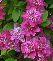 Clematis 'My Darling'