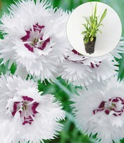 Dianthus 'Double White'