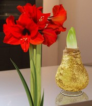 Wachs-Amaryllis 'Touch of Magic' Gold