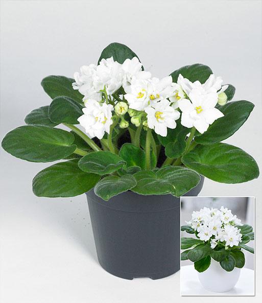 saintpaulia usambaraveilchen 39 wei 39 1a zimmerpflanzen online kaufen baldur garten. Black Bedroom Furniture Sets. Home Design Ideas