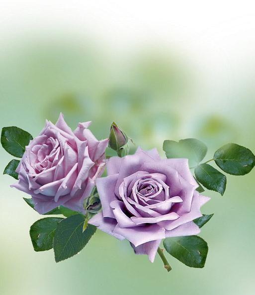 Parfum-Rose \'Mamy Blue®\': 1A-Rosenpflanzen bestellen | BALDUR-Garten