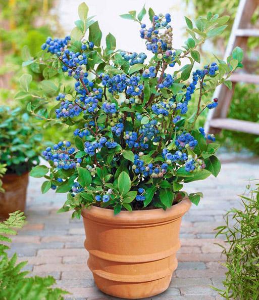 Topf Heidelbeere Blue Parfait 1a Pflanzen Baldur Garten