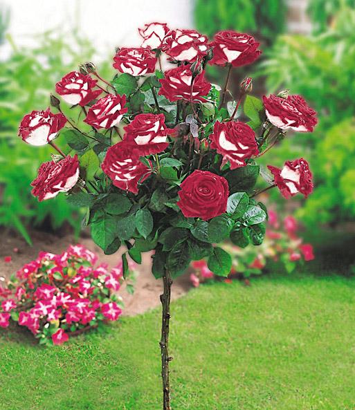 Rosen-Stämmchen Osiria®: 1A-Qualität Kaufen | Baldur-Garten