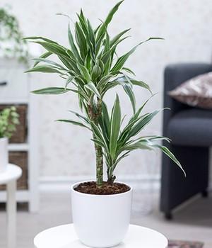 Drachenbaum Dracaena Pflege Tipps Fur Sie
