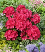 Rhododendron Rot