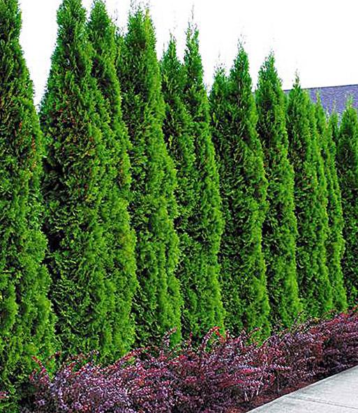 lebensbaum hecke thuja smaragd 1a pflanzen baldur garten. Black Bedroom Furniture Sets. Home Design Ideas