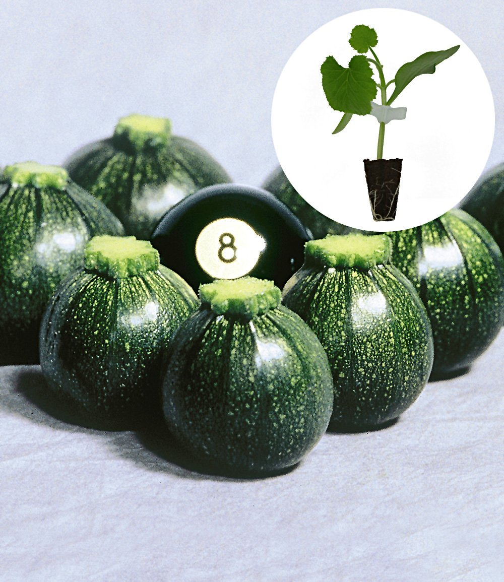 zucchini 39 eight ball 39 f1 top qualit t online kaufen baldur garten. Black Bedroom Furniture Sets. Home Design Ideas