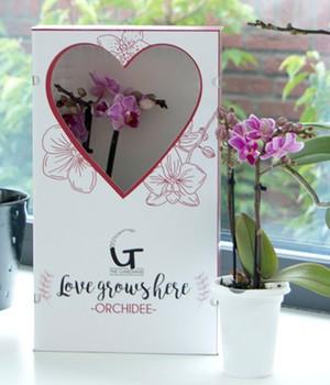Orchideen als zimmerpflanzen online kaufen baldur garten for Baldur garten erfahrung