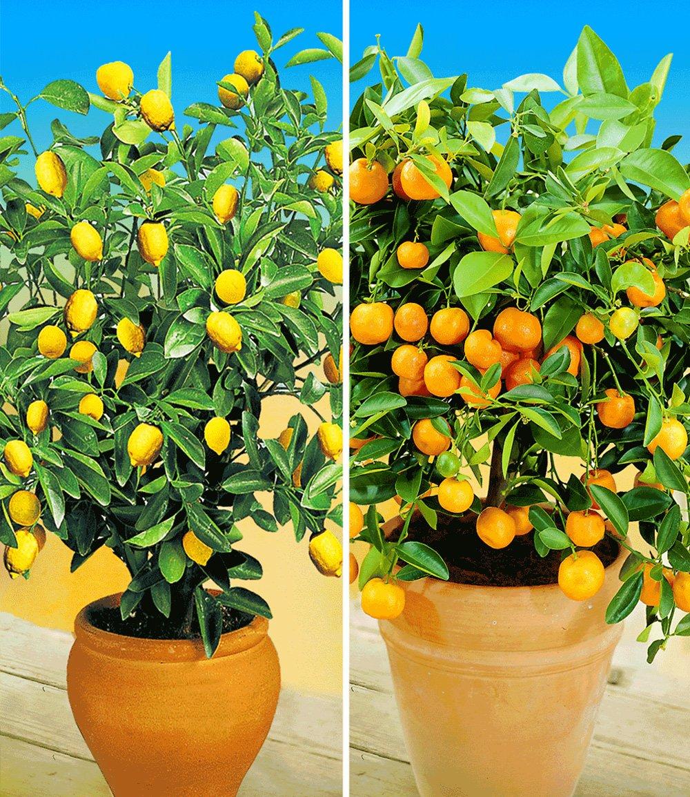 Zitronen orangenbaum top qualit t online kaufen for Baldur garten erfahrung