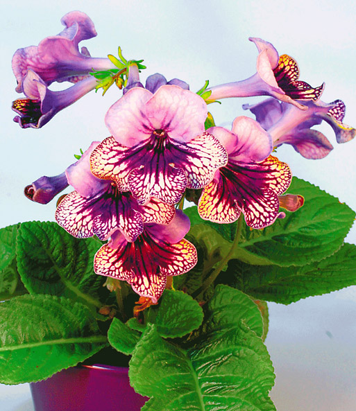 streptocarpus harlequin lace 1a zimmerpflanzen baldur garten. Black Bedroom Furniture Sets. Home Design Ideas