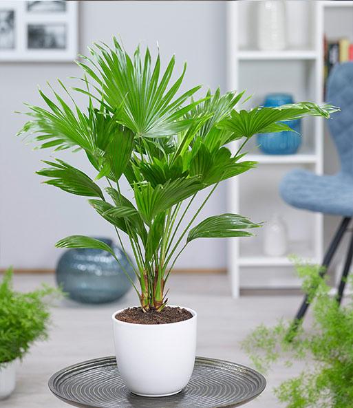 Palme \'Livistona Rotundifolia\' ca. 40 cm hoch