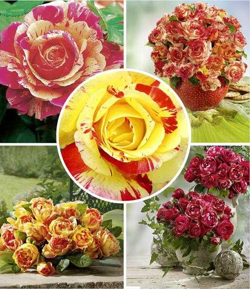 Große Malerrosen®-Kollektion: 1A-Rosenpflanzen Bestellen | Baldur