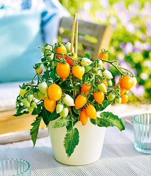 Niedrige Topf-Tomate Funnyplums® 'Golden Orange' F1