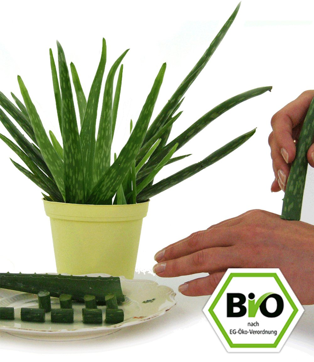 bio aloe vera zimmerpflanzen a z bei baldur garten. Black Bedroom Furniture Sets. Home Design Ideas