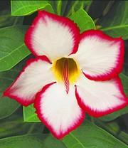 Zimmerpflanzen Sonnenfenster wüstenrose rot zimmerpflanzen a z bei baldur garten