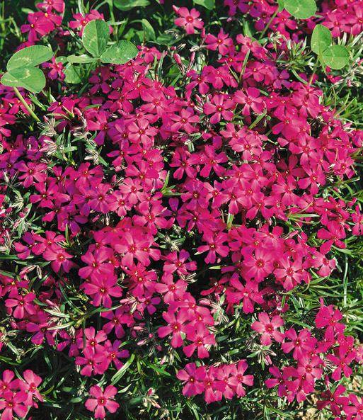 Phlox-Mix 'Flowers of the Sea'