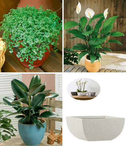 bubikopf gummibaum einblatt xx gr npflanzen bei baldur garten. Black Bedroom Furniture Sets. Home Design Ideas