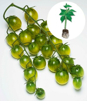 Cherry-Tomate 'Sungreen' F1